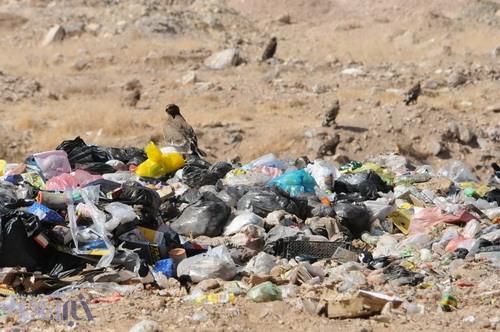 عقاب طلایی و سارگپه بر فراز زبالههای متعفن شهرکرد - 21 مهر 1392 - عکس از سعید یوسف پور