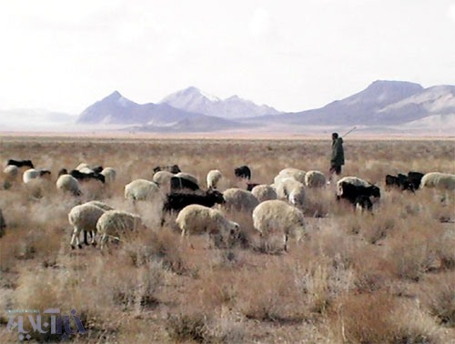 گوسفندان در حال چرا ...