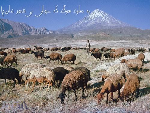گوسفندان در حال چرا در جوار دماوند ...