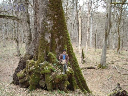 بلندمازوی جنگل خیرود در مازندران