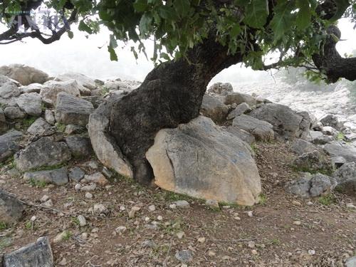 بلوط شیمبار