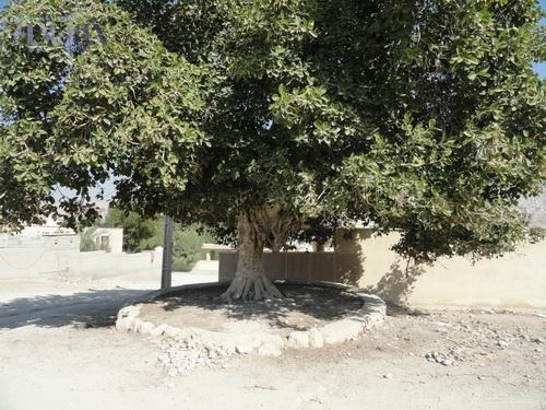انجیر بنگال در روستای شیو