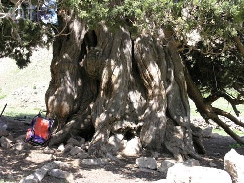 تنه قطور و عظیم درخت ارس شهرستانک
