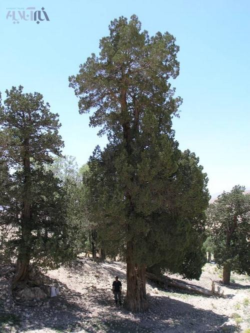درخت اُرس بادرود