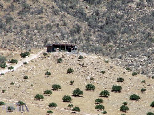 محوطه پاکتراشی شده از درختان بادام کوهی برای کاشت درخت انجیر در عکس مشخص است - کوهستان تودج - 29 مرداد 1392