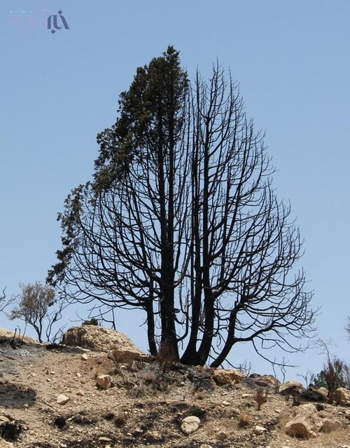 درخت اُرسی که ظاهراً الهام بخش مریم فرزانه بوده است
