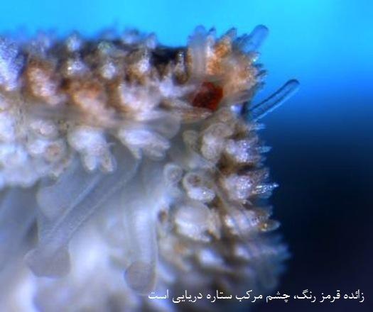 چشم ستاره دریایی