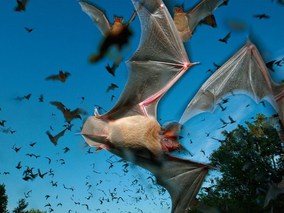 خفاش دم آزاد مکزیکی