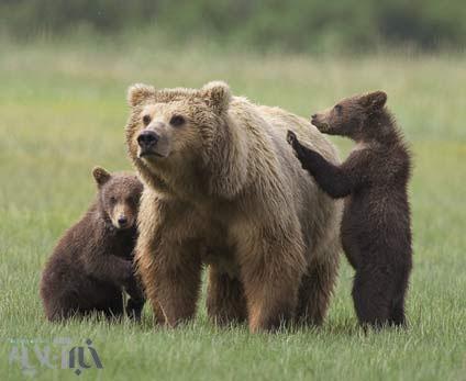 خرسها چه کم از قناریها دارند؟!