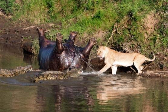 جنگ شیر و تمساح