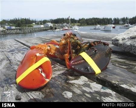 خرچنگ دو تنی