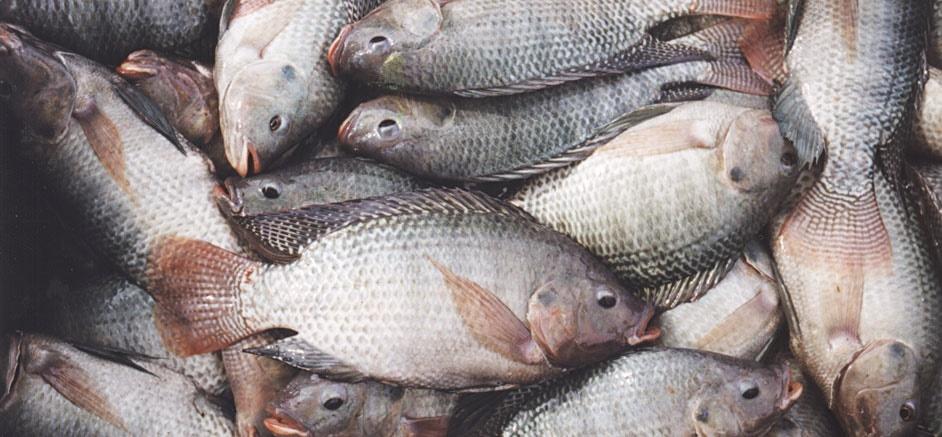 عکس ماهی تیلا پیلا