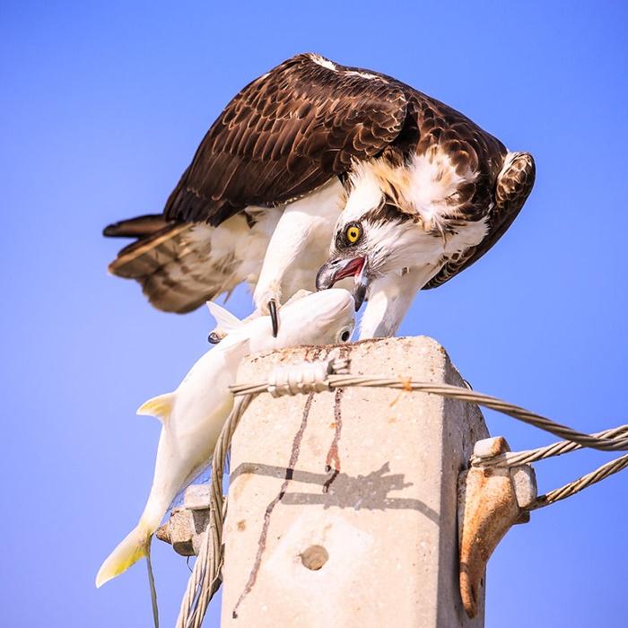 ماهی خوردن عقاب