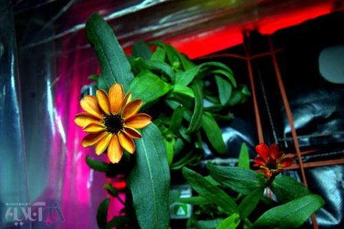 اولین گلی که در فضا شکفت!/توئیت تاریخی فضانورد آمریکایی از یک گل آهاری نارنجی 16 1 17 133833CY3fukZUkAAqc0