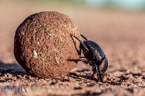 سوسک ، قویترین حشره جهان ؛ قدرتمندتر از گوریل + تصویر
