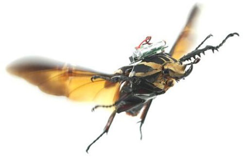 سوسکهای سایبورگ جایگزین پهپادها میشوند؟/تلاش برای کنترل حشرات و تبدیلشان به ربات
