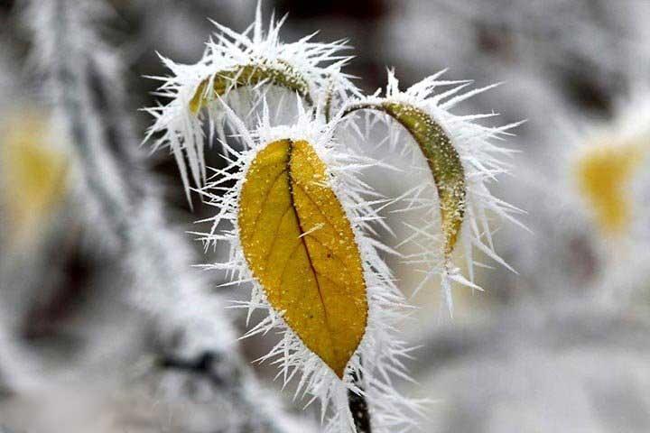 تصویری دیدنی از یخ زدن برگها