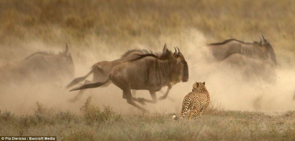گاوهای وحشی افریقایی را در جشن خونین چیتاها، کرکس ها و کفتارها ببینید