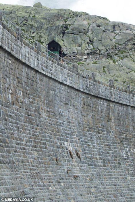 بزهایی که از دیوار عمودی سد در ایتالیا بالا رفتند