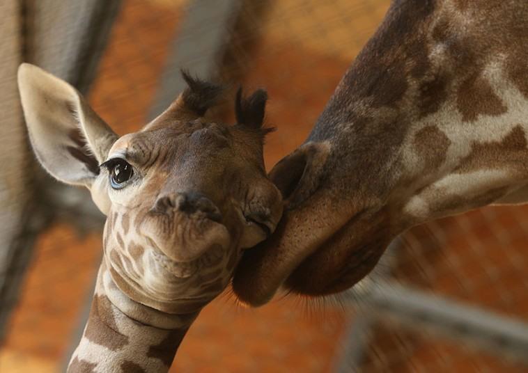 """وقتی """"می می""""، بچه زرافه 11 روزه، خود را برای مادر لوس می کند"""