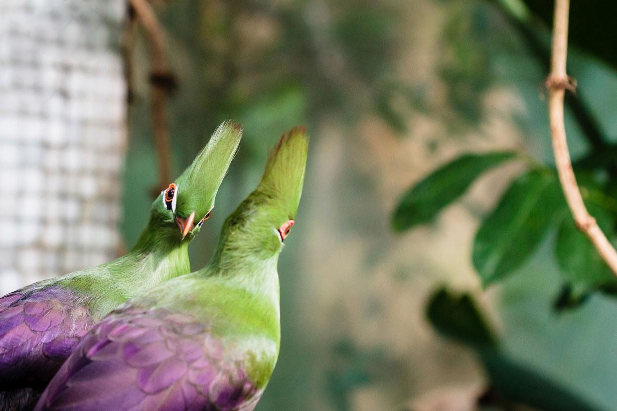 """پرنده ای """"فشن"""" با چشمانی بسیار زیبا"""