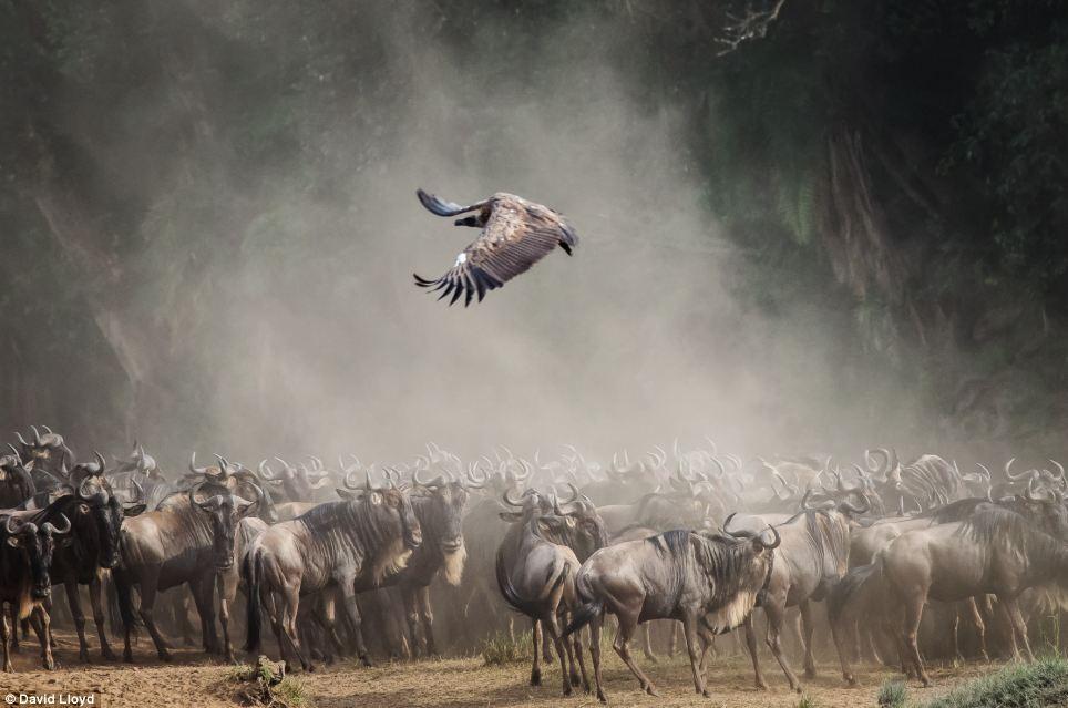 """بهترین تصاویر برگزیده حیات وحش """"ماسای مارا"""" در کنیا اثر دیوید لوید"""