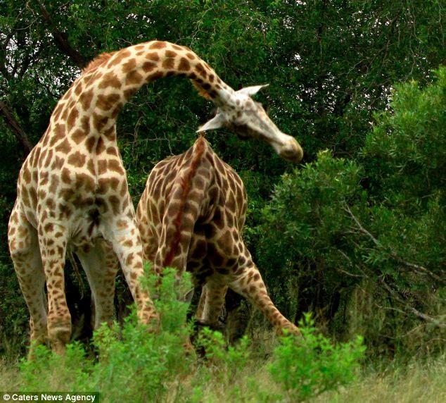 کونگ فو بازی دو زرافه در افریقای جنوبی
