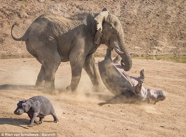 وقتی فیل زورگو، اسب آبی مادر را ضربه فنی می کند