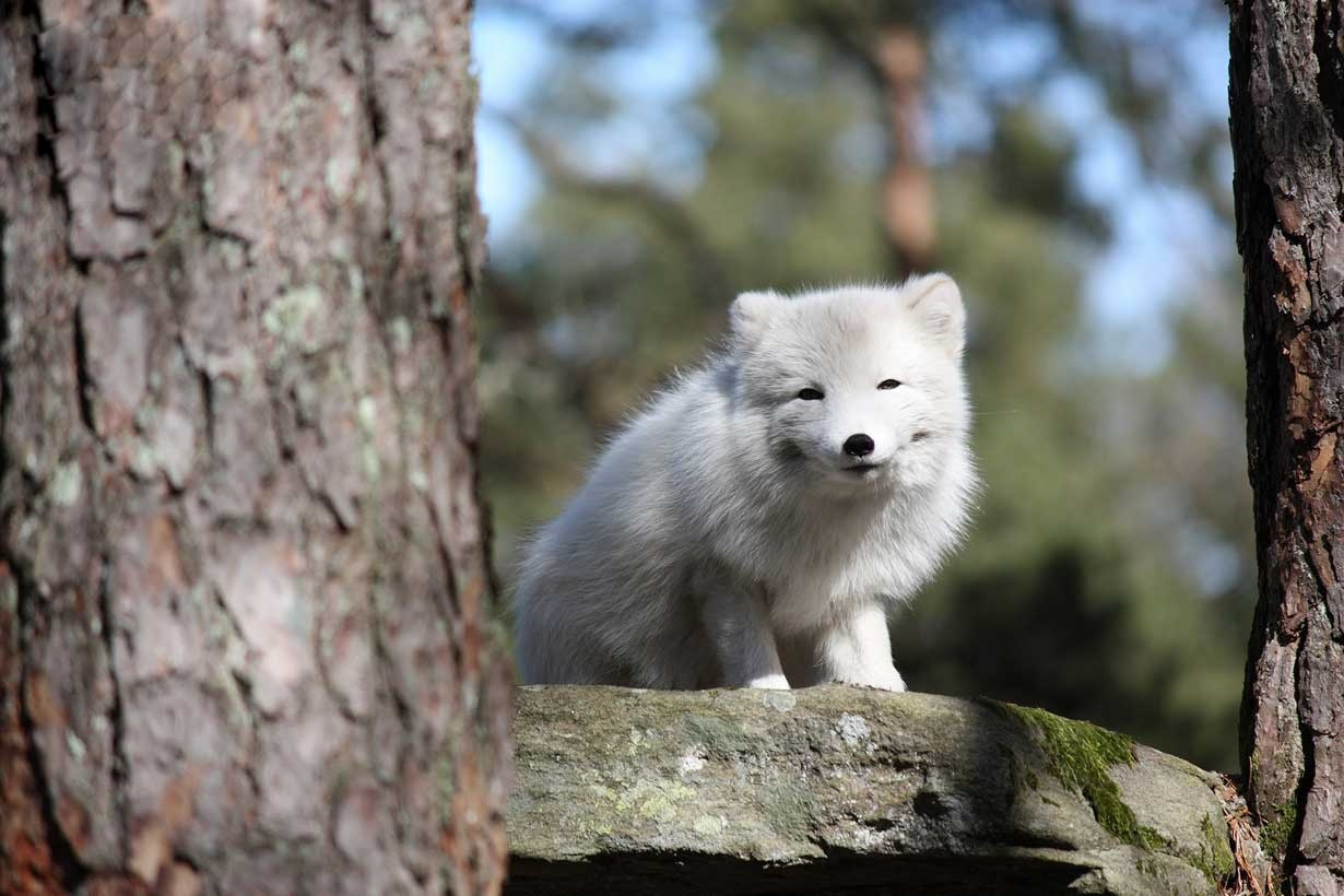 تجارت تراژیکی بنام روباه قطبی