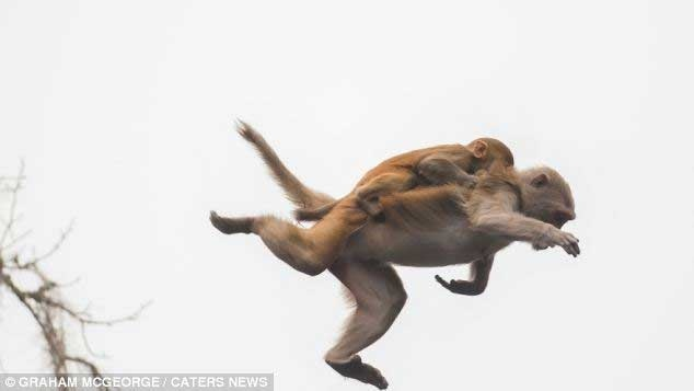 میمون عاشق آدرنالین و پرواز 9 متری از روی درخت با فرزندش