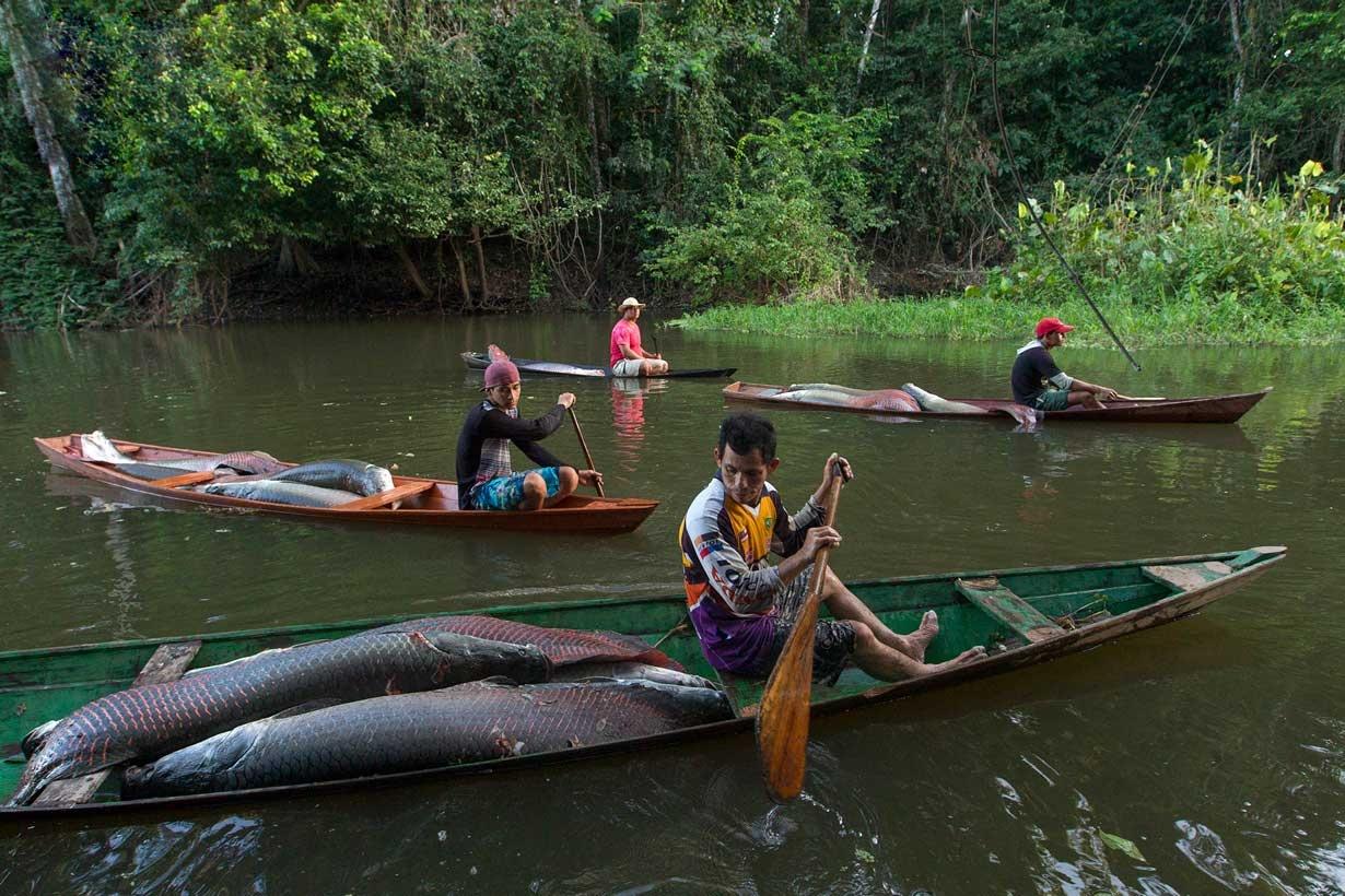 """شکار شگفت انگیز """"آراپایما"""" در آبهای آمازون"""