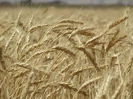هزینه چهارماه تنظیم بازار گندم و برنج 134 میلیارد تومان شد