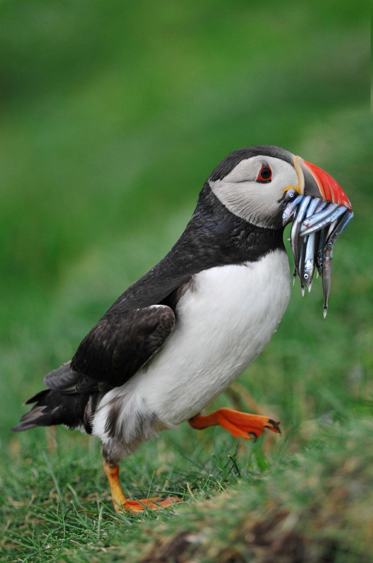 پافین های فوق العاده زیبا؛ پرندگان غمگین پنگوئن شکل شبیه طوطی!