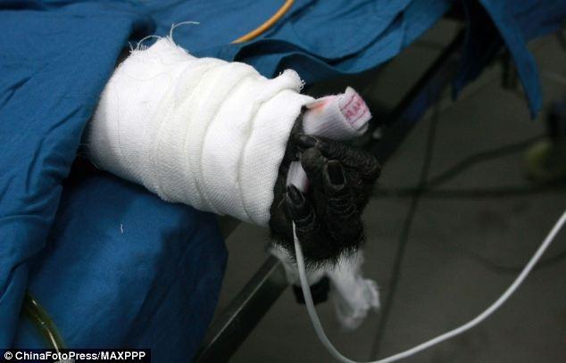 پیوند موفقیت آمیز کبد یک حیوان شبیه سازی شده به یک میمون در چین