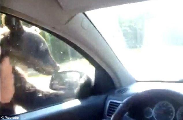 افزایش خرس های گدا در جاده های روسیه
