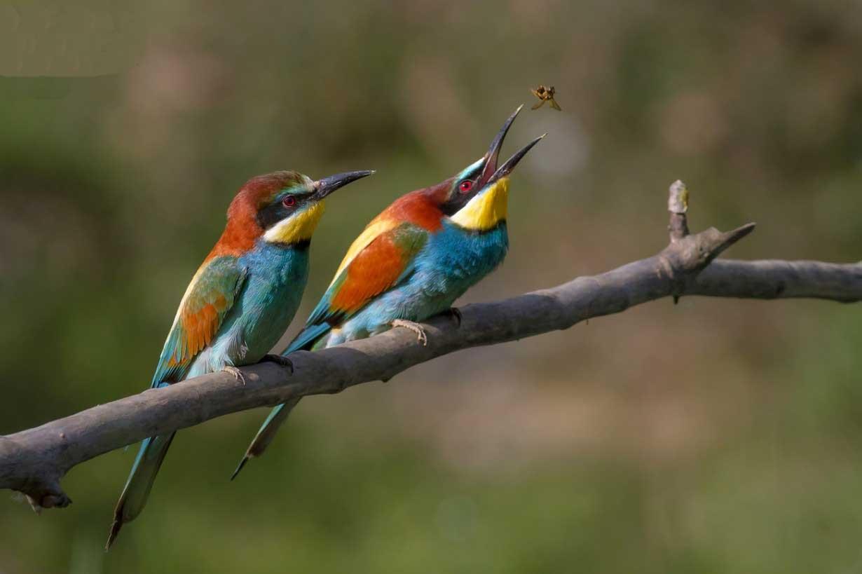 """پرنده زیبایی بنام """"سبز زنبور خوار """""""