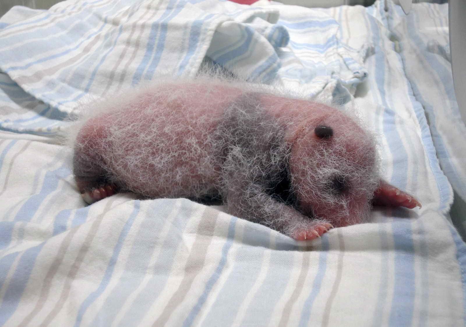 زندگی حیرتانگیز توله پاندا در اولین روزهای تولد