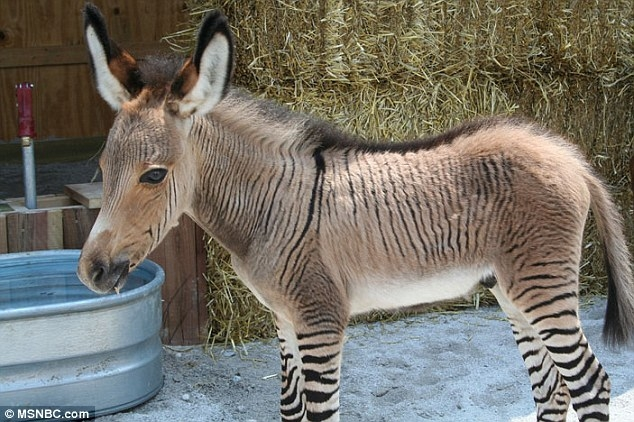 """article 2378631 1AFF3A38000005DC 286 634x422 - تصاویری از یک حیوان بسیار نادر به نام """"زانکی"""""""