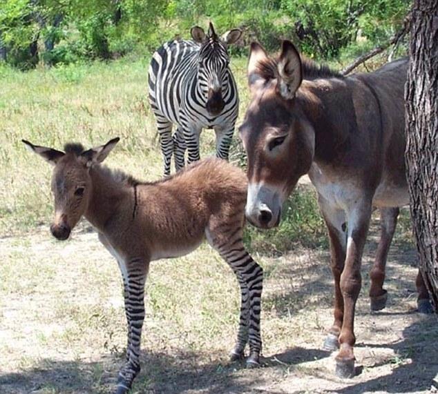 """article 2378631 1AFF3A94000005DC 232 634x571 - تصاویری از یک حیوان بسیار نادر به نام """"زانکی"""""""