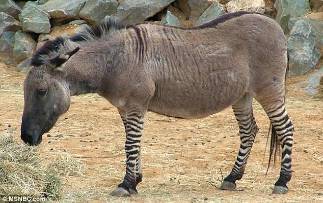 """article 2378631 1AFF3A9C000005DC 784 634x400 - تصاویری از یک حیوان بسیار نادر به نام """"زانکی"""""""