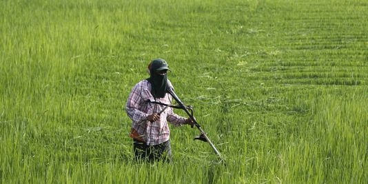 بحران در بازار برنجهای تایلندی