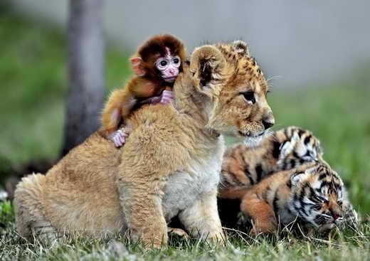 دوستی عجیب بچه میمون، توله شیر و دو توله ببر