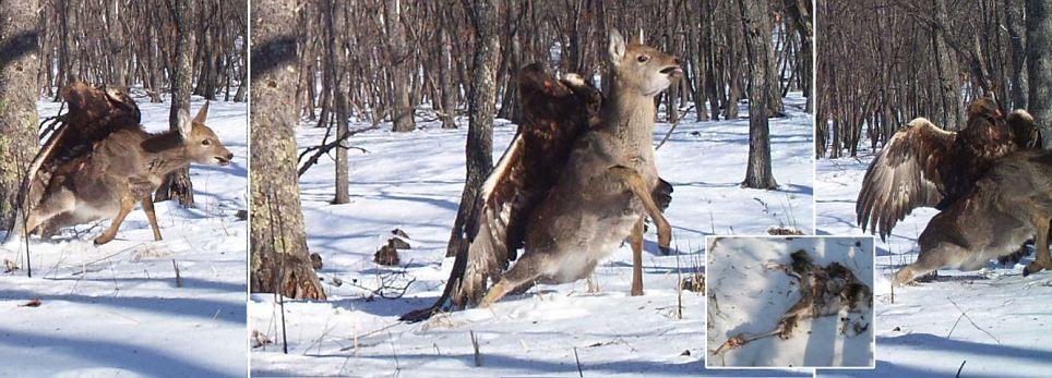 برای اولین بار در جهان: عکاسی از لحظه کنده شدن گوزن از زمین با چنگال عقاب طلایی