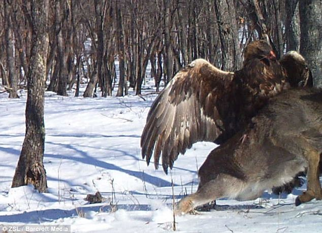 13 9 24 2222523 - برای اولین بار در جهان: عکاسی از لحظه کنده شدن گوزن از زمین با چنگال عقاب طلایی