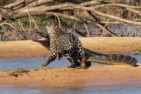 تصاویر نادر از حیات وحش: وقتی تمساح طمعه جگوار میشود