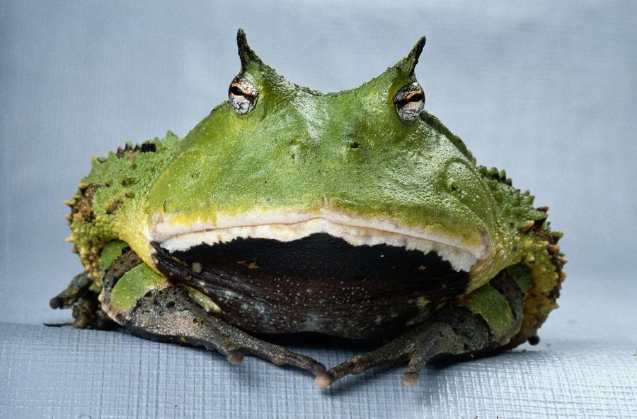 قورباغه شاخدار آمازون، حریصترین موجود روی زمین