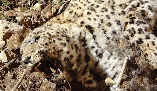 از پلنگکشی تا گوزنکشی؛ حیوانآزار هم شدهایم؟ / نگاهی به شکارها و حیوانآزاریهای اخیر در ایران