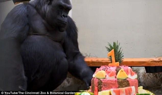 جشن تولدی برای یک بچه گوریل با کیک برنج و سبزی و موز