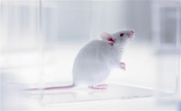 این ابرموش باهوش، حاصل تزریق سلولهای جنینی انسان به یک بچه موش است