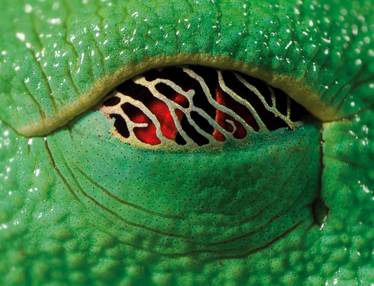 تصاویر حیرتانگیز قورباغهای با چشمان اژدها